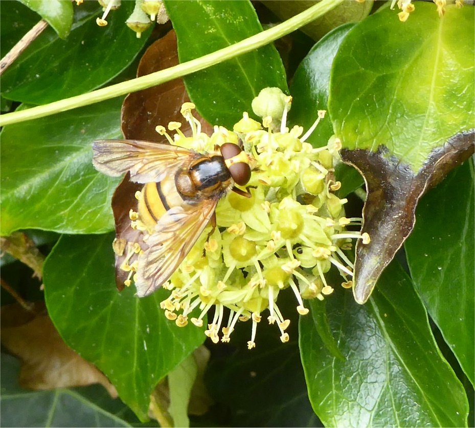 Hover fly in St Nicolas churchyard