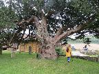 Majestic 9th cent yew tree Sullingington