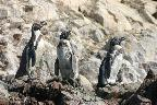 Birds on Galapagos 3. Humboldt penguins