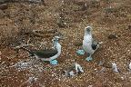 Galapagos 7. Blue Footed Boobies Mating