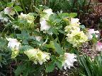 Hellebores at the Dower House Melbourne