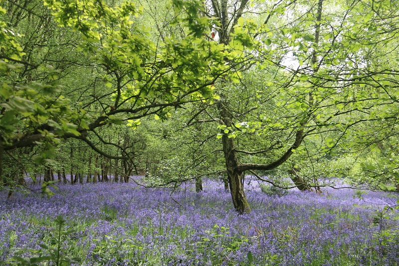 Natural History Group - Bluebell wood