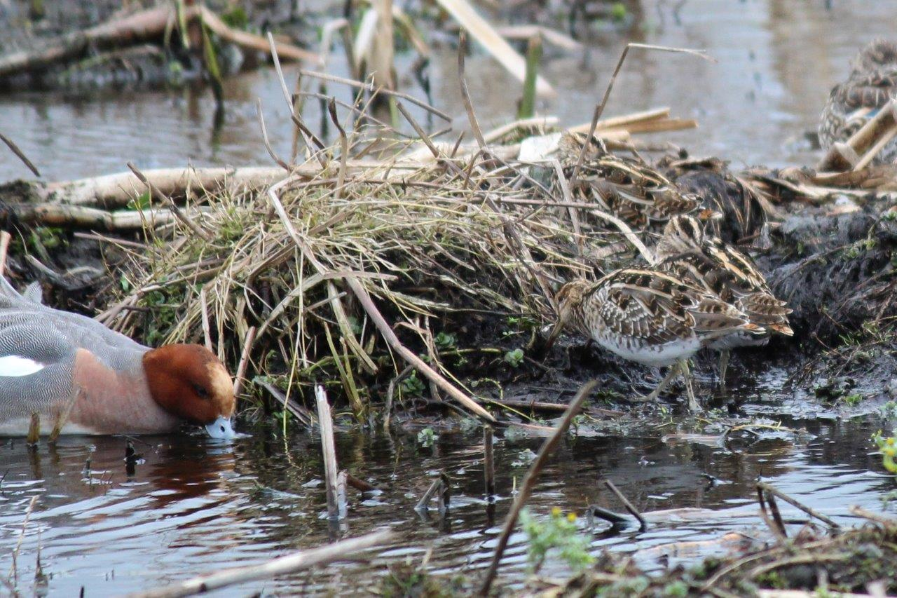 Wigeon & Snipe. Photo by Dick