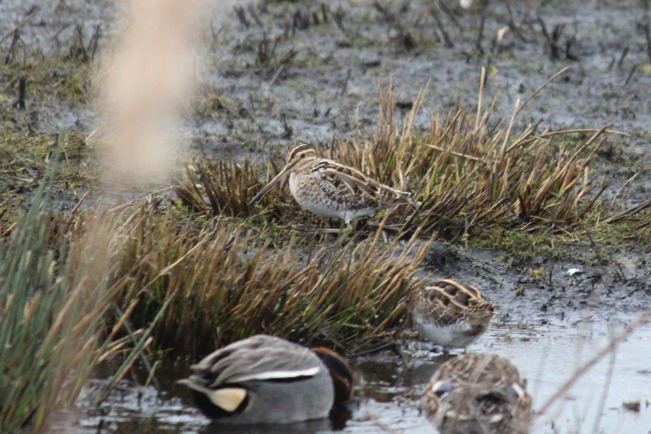 Hiding Snipe. Photo by Dick