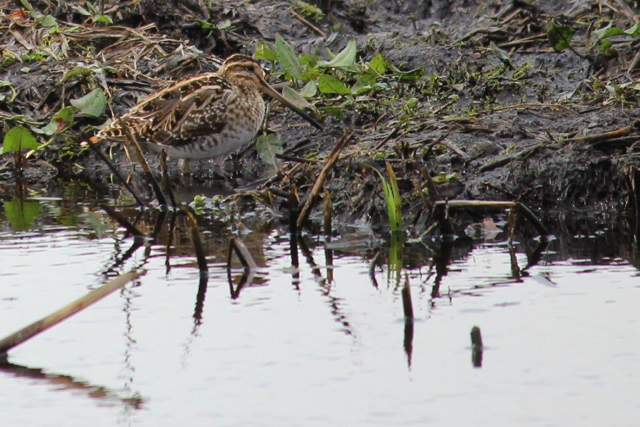Snipe. Photo by Dick