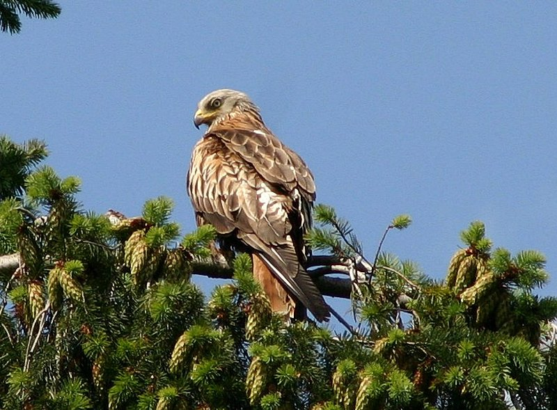 A Red Kite in Beaconsfield