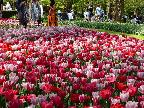 Mixed tulip bed