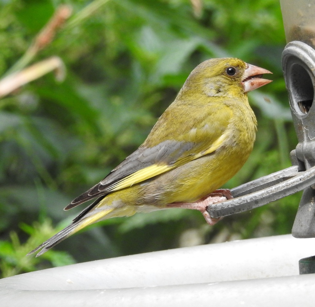 Greenfinch - Mike White