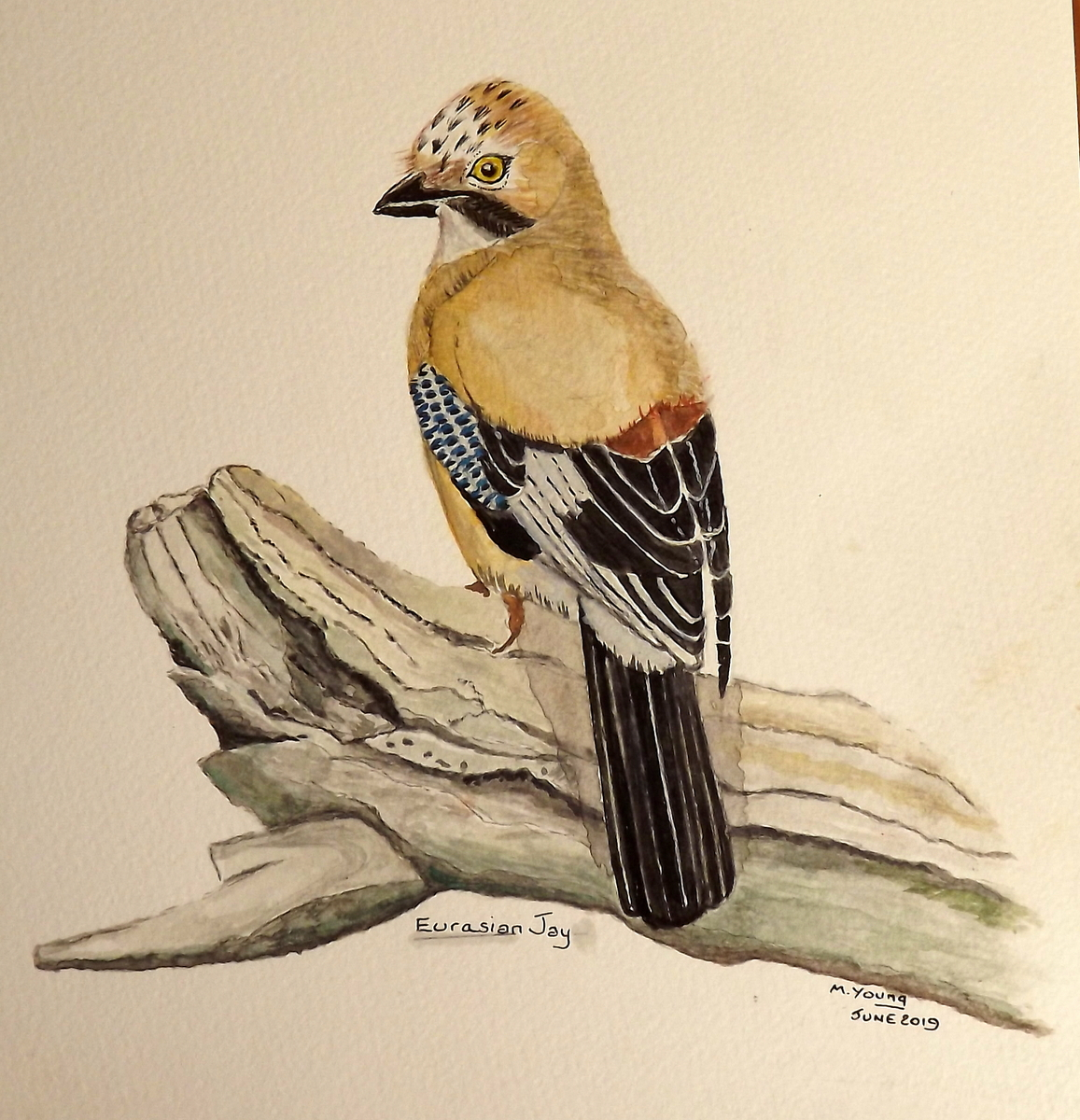 The Jay - by Mike Young