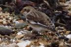 The Snow Bunting