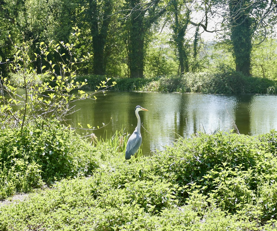 Heron at Great Cornard