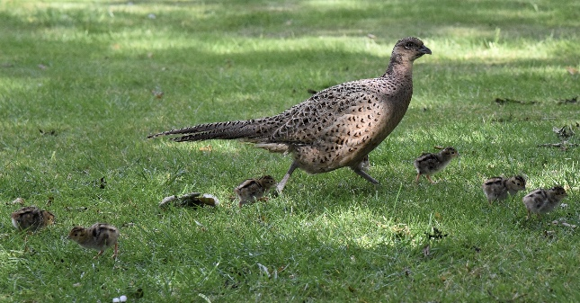 Pheasant  with chicks