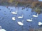 Mute & Hooper Swans