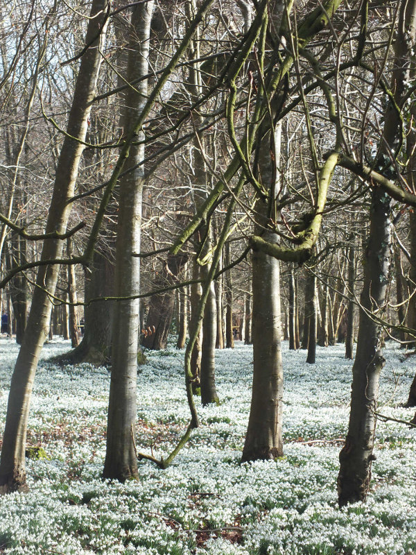 Snowdrops Welford Park