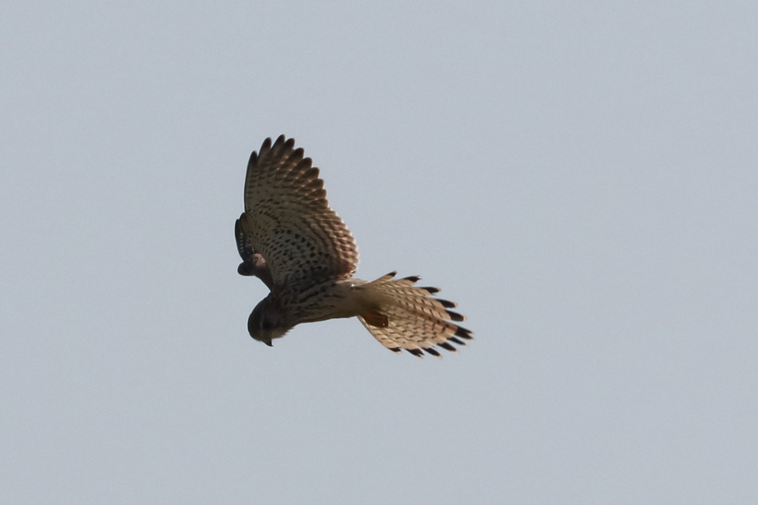 Kestrel at New Passage