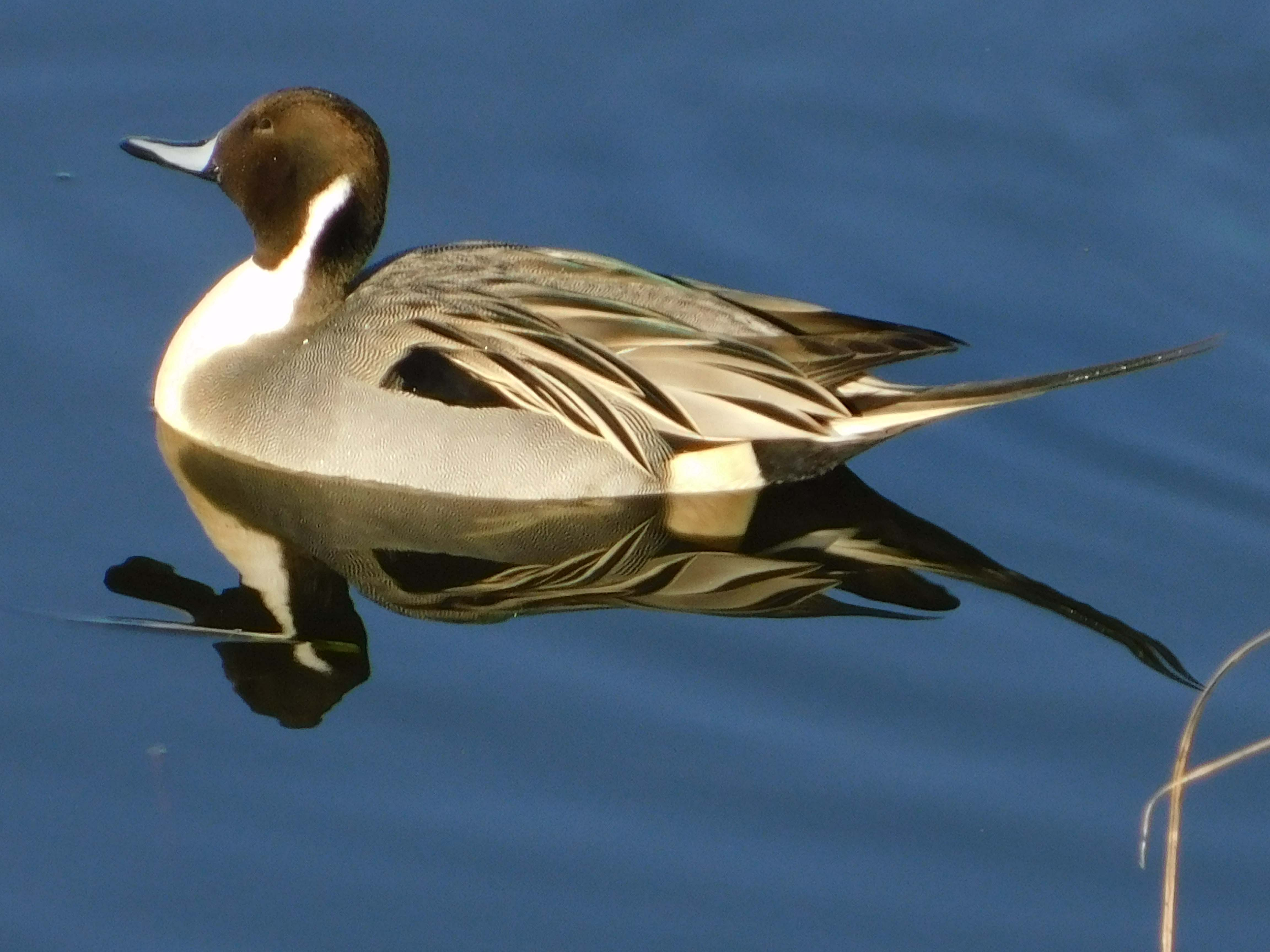Male pintail.