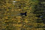Moorhen or coot paddling