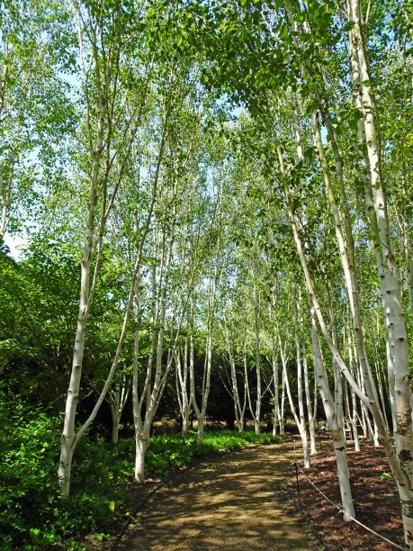The birch trees at Anglesey Abbey