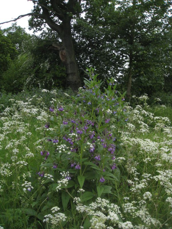 cow parsley and comfry