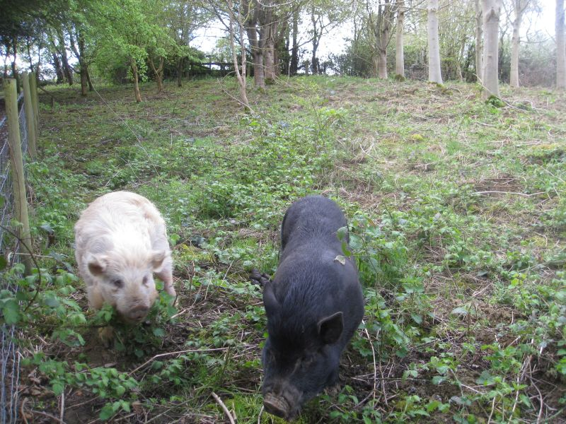 Two hungry piggies rushed to greet us
