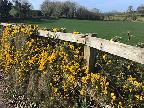 Gorse in the hedgerow