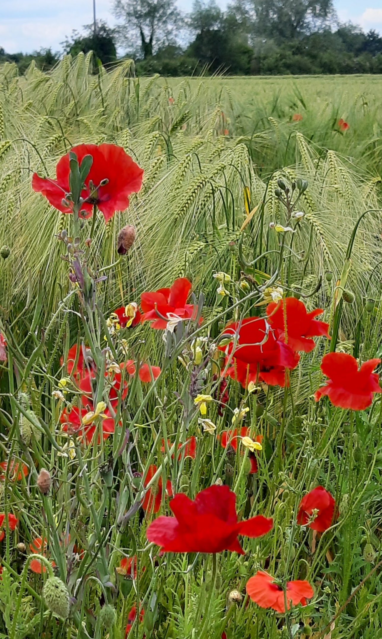 Fladbury poppies