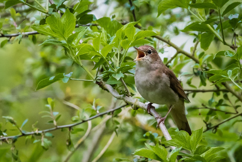 Nightingale at Wisby